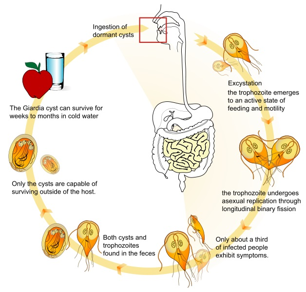 Giardia ciclo riproduttivo